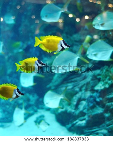 Masked Rabbitfish - Siganus puellus in blue water of aquarium