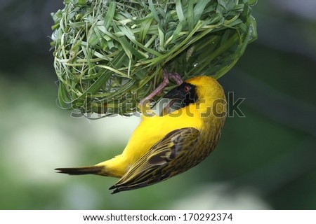 Masked Weaver Bird hanging from it's nearly completed nest - stock photo