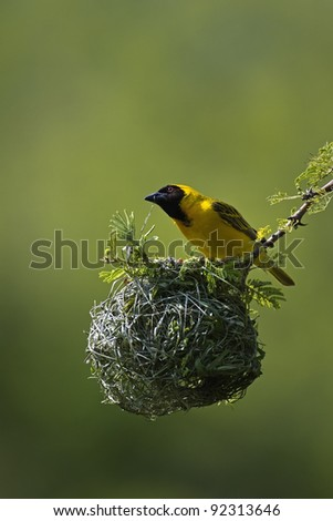 Masked weaver sitting on top of nest; Ploceus velatus - stock photo
