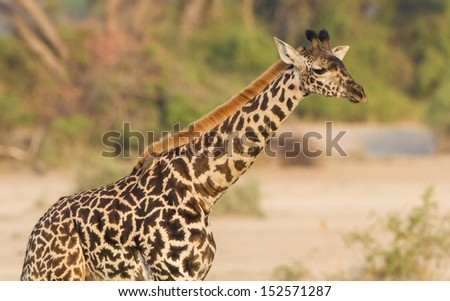 Massai Giraffe, with distinctive markings, poses in profile in the wilds of Africa