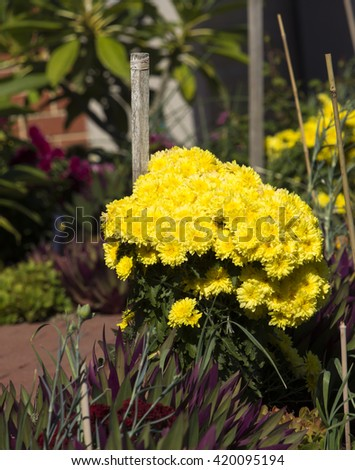Massed blooms  of  bright  yellow  Chrysanthemums, called mums or chrysanths,  flowering plants  of genus Chrysanthemum family Asteraceae   are used as a floral tribute to mums on mothers day. - stock photo