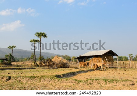 Masses of cattle in the fields with blue sky background, rural scene in Thailand.