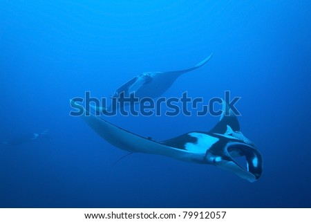 Massive Giant Manta formation gliding through the Andaman Sea, Thailand. Manta Birostris.