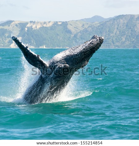 Massive humpback whale playing in water captured from Whale watching boat. The marine giant is on its route from New Zealand to Australia - stock photo