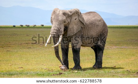 Massive lone bull elephant standing his ground in Amboseli National Park in Kenya