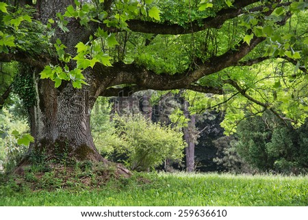 Massive maple tree in the park. Natural background. - stock photo
