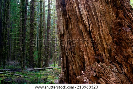 Massive Old Growth Red Cedar Tree Split Apart Wooded Rain Forest - stock photo