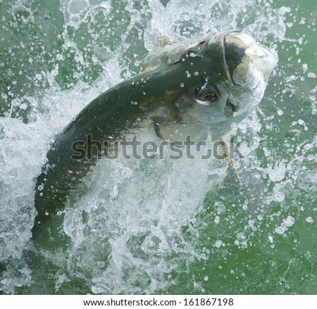 Massive Tarpon fish leaping out of the water - stock photo