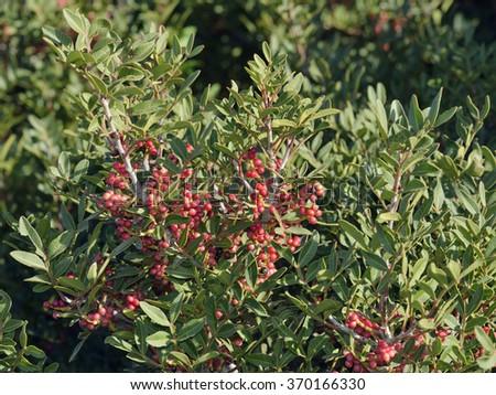Mastic Tree - Pistacia lentiscusEvergreen Tree from Cyprus - stock photo