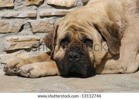Mastiff 3 - stock photo