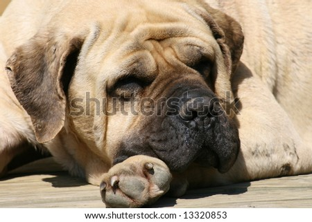 Mastiff 7 - stock photo