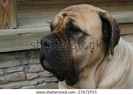 Mastiff 1 - stock photo