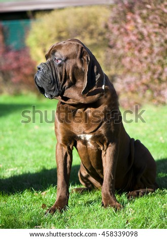 Mastiff - stock photo