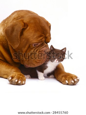 Mastiff and kitten on a white background.