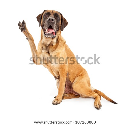 Mastiff dog against a white backdrop holding his paw up and making a V shape to symbolize peace, vote or victory - stock photo