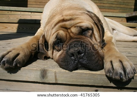 Mastiff on a wood background
