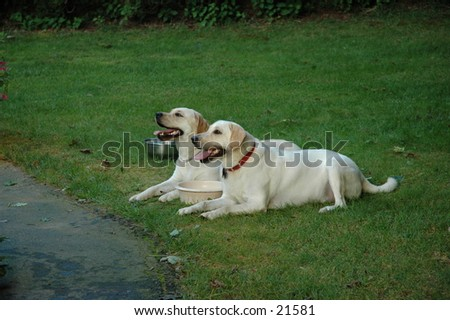 Matched pair of yellow labs