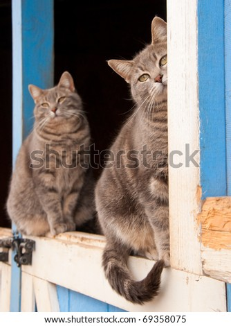 Matching pair of blue tabby cats sitting on top of a Dutch door of a blue barn - stock photo