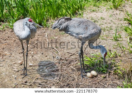 Mated pair of Sandhill cranes with eggs - stock photo