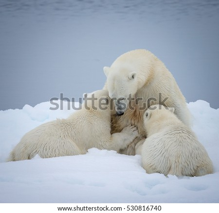 Maternal moment of mother polar bear nursing her young