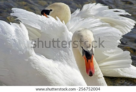 Mates for life - the beautiful and elegant Mute Swan - stock photo
