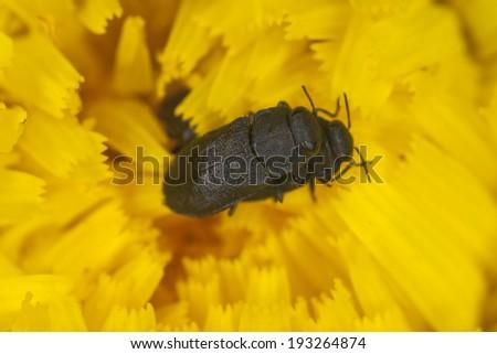 Mating Anthaxia quadripunctata - stock photo