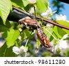 Mating beetles. - stock photo
