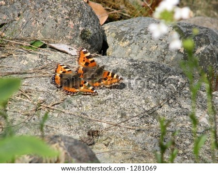 mating butterfly Aglais urticae - Small Tortoiseshell