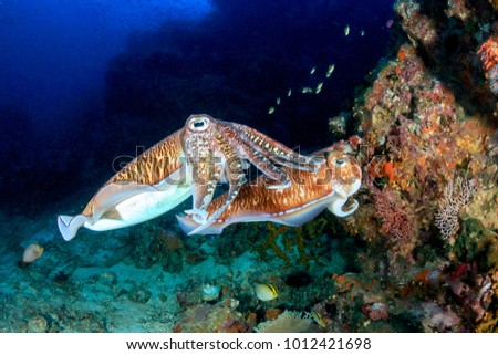 Mating Cuttlefish at sunrise on a deep, tropical coral reef