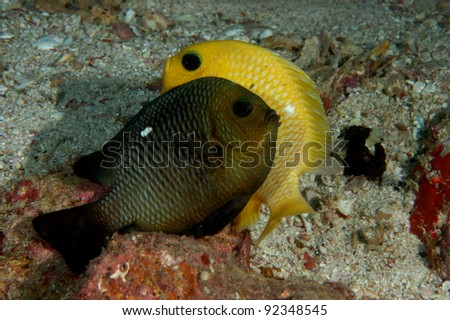 Mating Damsel Fish - stock photo