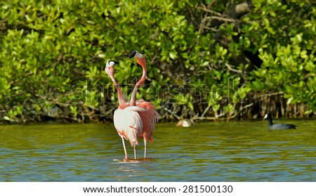 Mating dance  Caribbean flamingos ( Phoenicopterus ruber ruber ) on pond in Cuba.   - stock photo