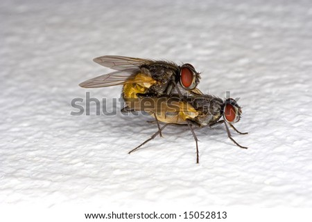 Mating Flies on Wall - Macro - stock photo