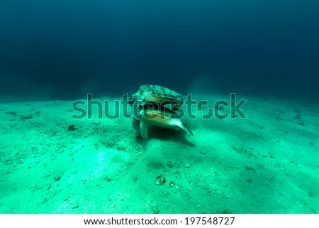 Mating green turtles in the Red Sea