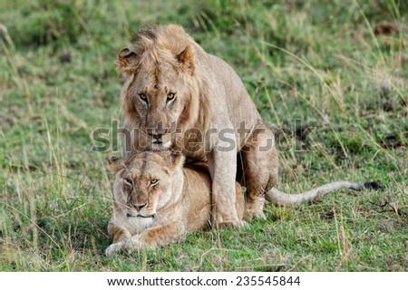 Mating lion and lioness in the Maasai Mara National Park, Kenya - stock photo