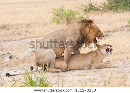 mating lions in the savannah in africa - national park selous game reserve in tanzania - stock photo