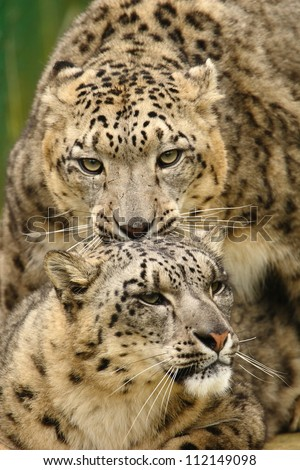 Mating snow leopards