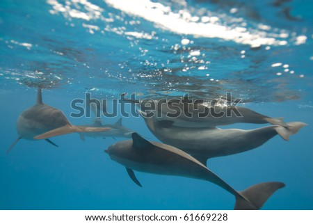 Mating Spinner dolphins (Stenella longirostris). Sataya, Southern Red Sea, Egypt. - stock photo