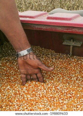 MATO GROSSO, BRAZIL - MARCH 22, 2004: grain corn closeup  in combine. Brazil