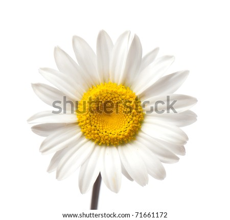 Matricaria, camomile. beautiful background of fresh flowers photographed in the studio