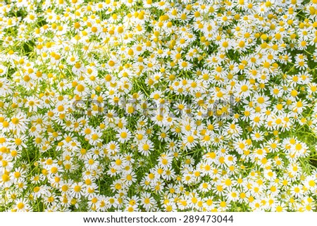 Matricaria chamomilla flowers on meadow, selective focus, background - stock photo