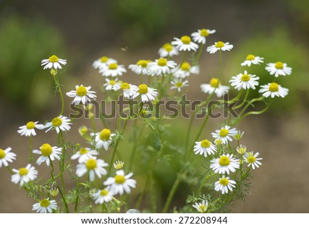 Matricaria recutita flowers - stock photo