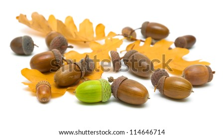 mature acorns and yellow leaves isolated on white close-up