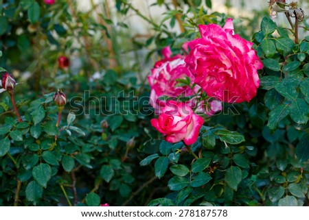 Mature and young roses on leaves background - stock photo