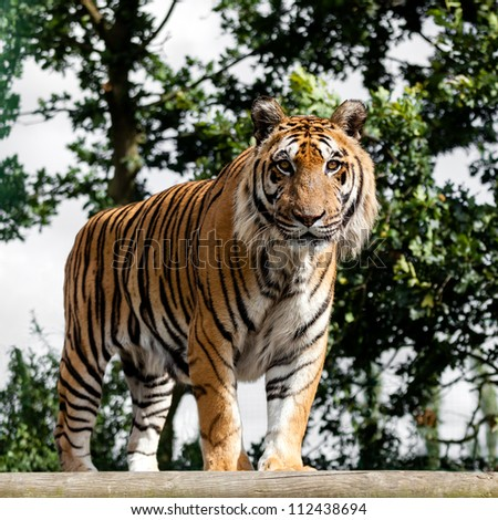 Mature Bengal Tiger Standing on Wooden Platform Panthera Tigris - stock photo