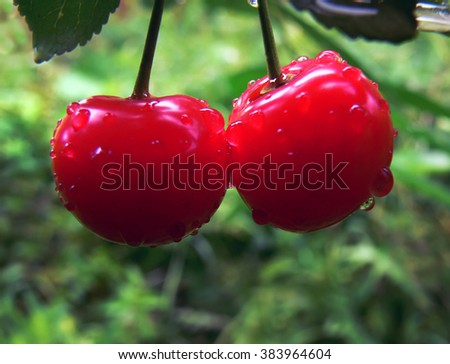 mature berries in a garden, transparent a sunlight with decrease in a rain - stock photo