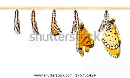 Mature cocoon transform to Tawny Coster butterfly - stock photo
