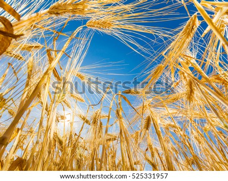 Mature ears of barley against the sky and sun