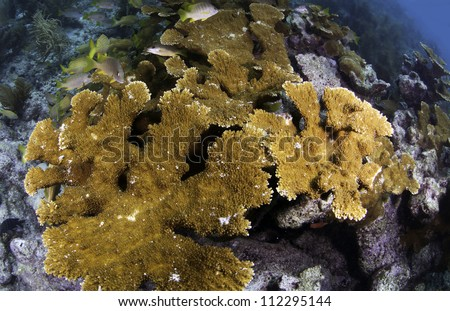 Mature Elkhorn Coral Colony on top of a coral reef with fish amongst the coral and a blue background shot with a fisheye lens in Key Largo, florida - stock photo