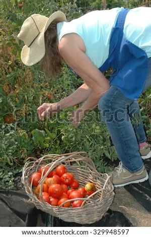 Mature female picking organic tomatoes from her garden outside.