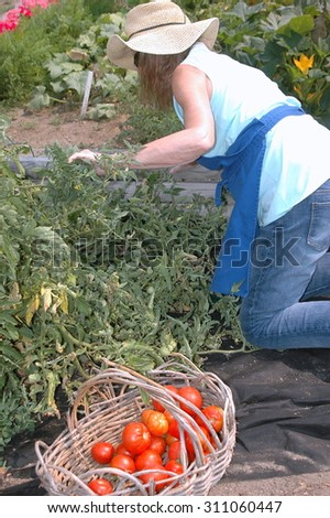Mature female picking ripe tomatoes from her organic garden outdoors.